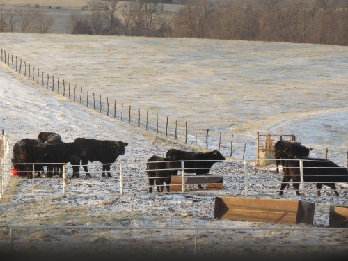 Heifers and 8F...Mon. Jan. 14, 2013 003