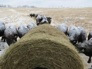 Feeding Cattle, Below Zero, Bull 023...Sun. Mar. 02, 2014 011