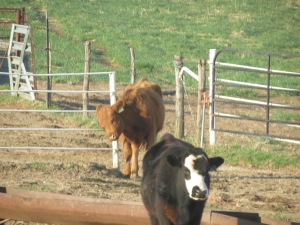 Scratching Heifers...Fri. Apr. 18, 2014 001