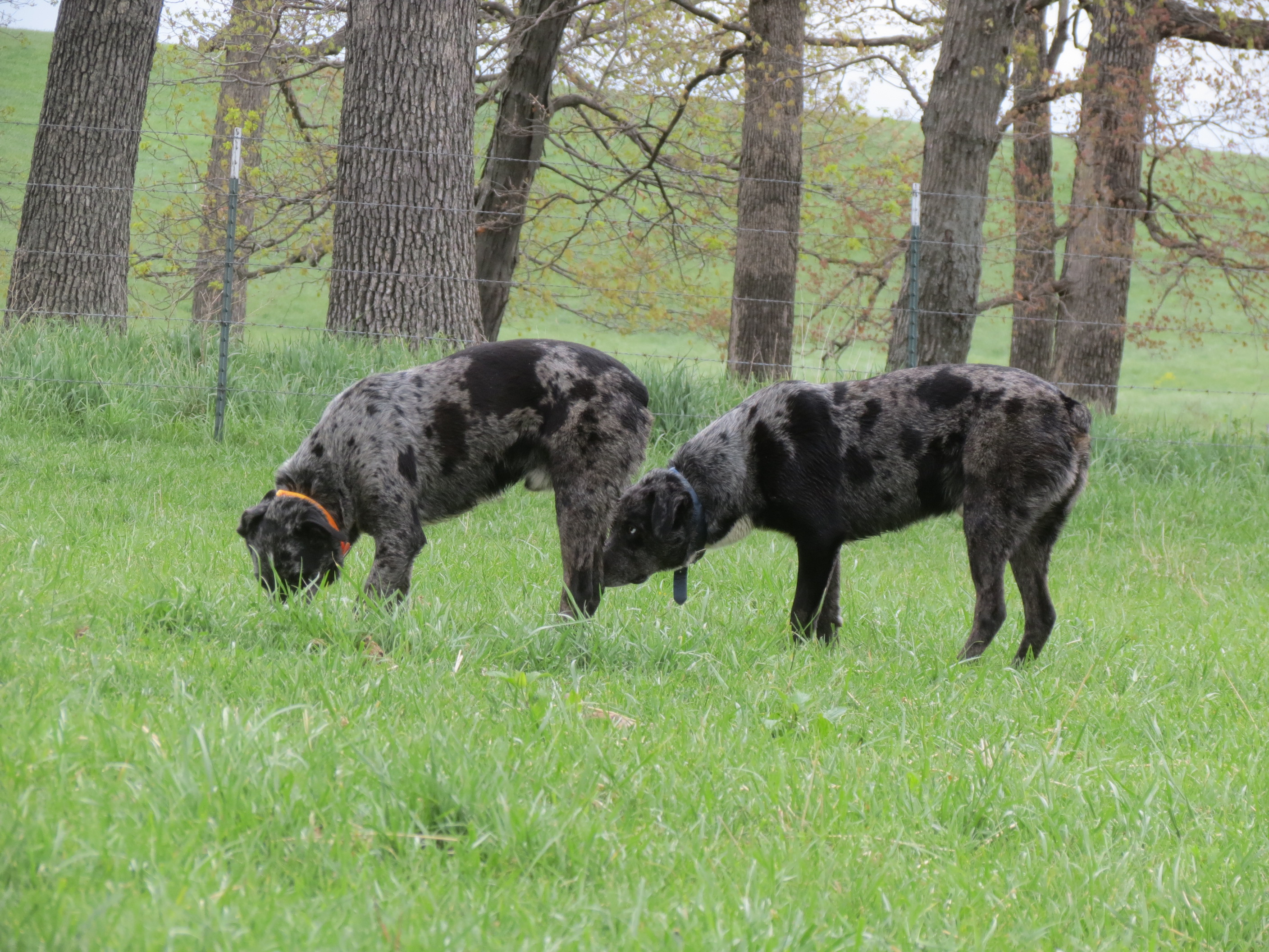 Hanging tree cow dogs for sale - Hangin Tree Cowdog Production Sale Reference Cowdogs Rulo Rulo Videos Thurs May 01 2014 023