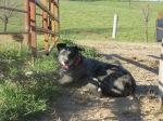Mr. Bandit on calving crew duty.