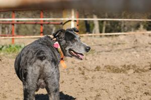 Bert...Tribute to Bert...on my website Home/Welcome Page describes what my cowdog standards are for my working cowdogs.